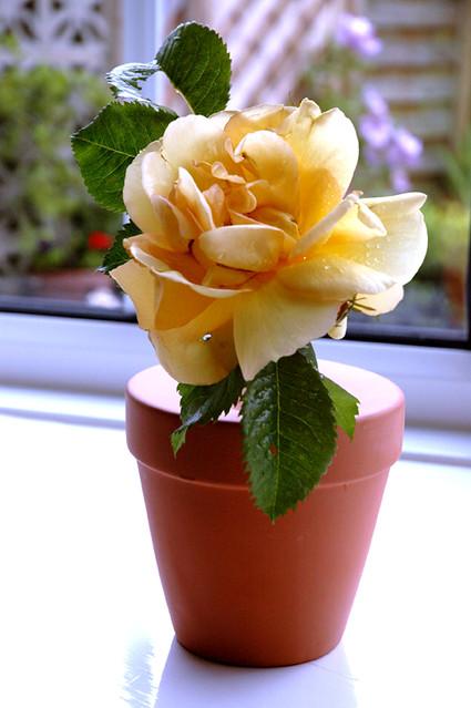 Bud Vase With Single Rose Single Flower Vase Terracotta Flickr