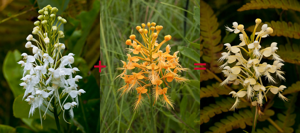 Make-up of Luer's hybrid Fringed orchid
