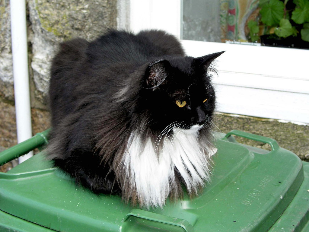 Longhair Black Cat Missing Bristol May