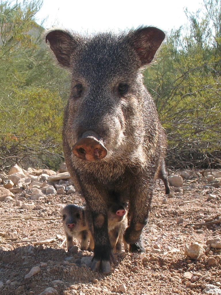 Javelina And Her Babies Amythestsparkles Flickr