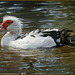 Muscovy Duck - after bath time.