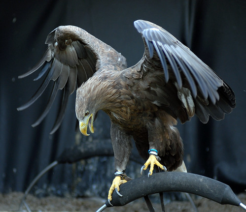 White Tailed Sea Eagle | by Steve Wilson - over 6 million views Thanks !!