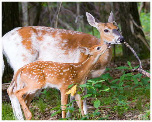 Dottie and Her Fawn - Shenandoah National Park | by [Christine]
