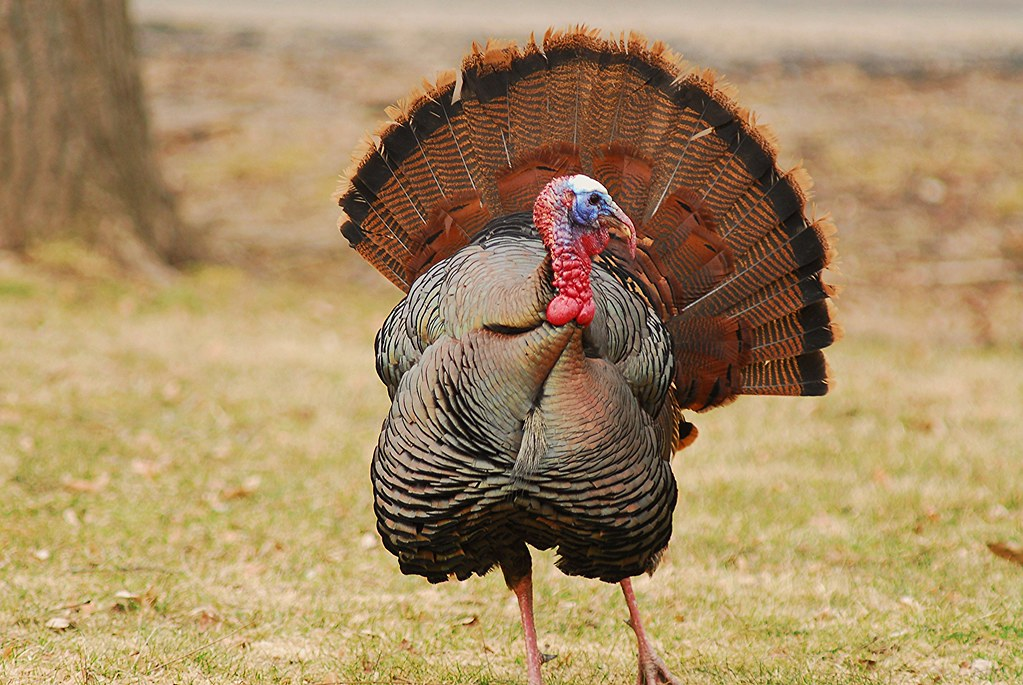 Male Wild Turkey, tail fanned out | Larz Anderson Park, Broo… | Flickr
