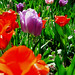 Tiptoe through the tulips grand