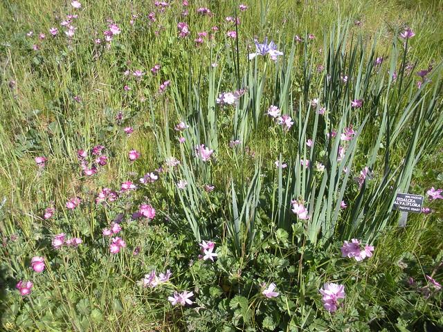 California Native Plants Garden Flickr Photo Sharing