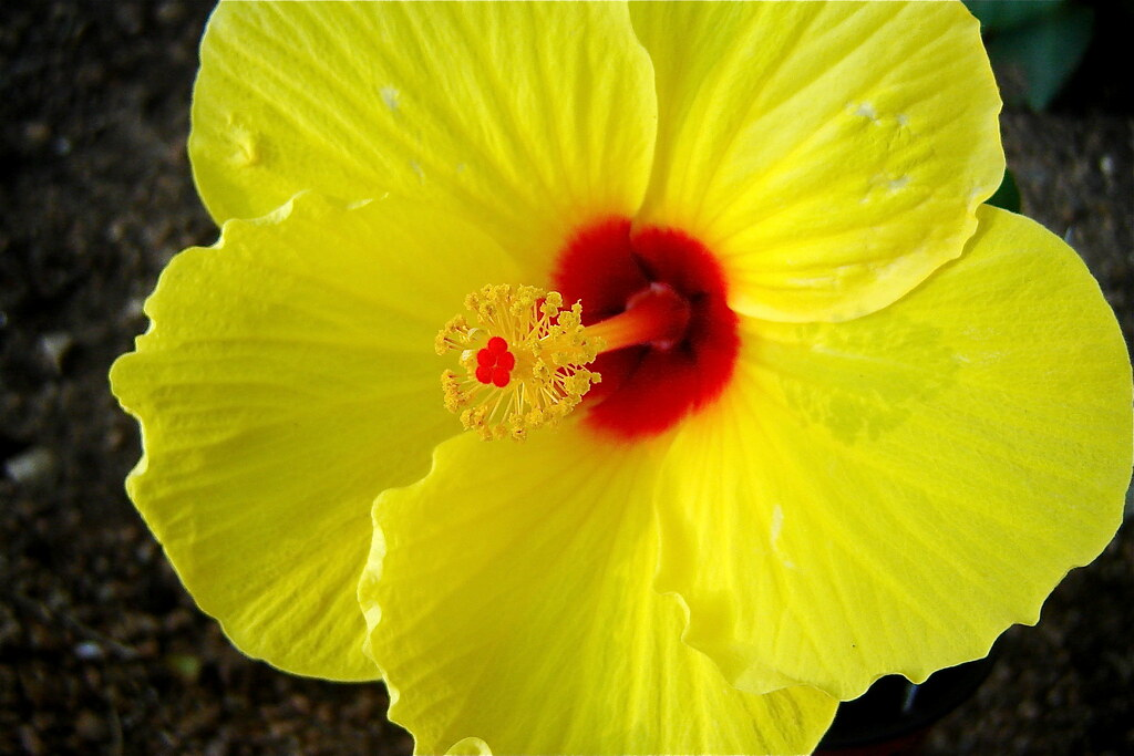 Yellow Hibiscus | Andreanna Moya Photography | Flickr