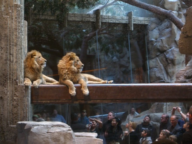 are the lions back at mgm grand