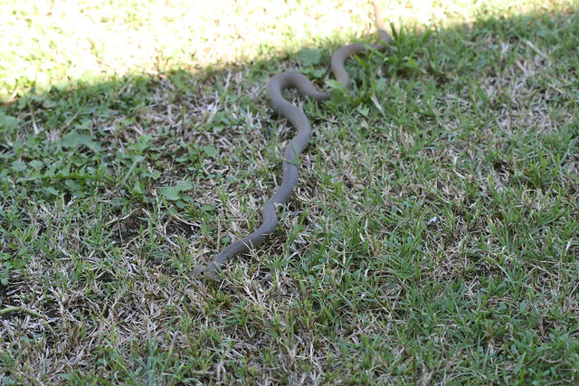 Snake Chapman S Cat Tracks