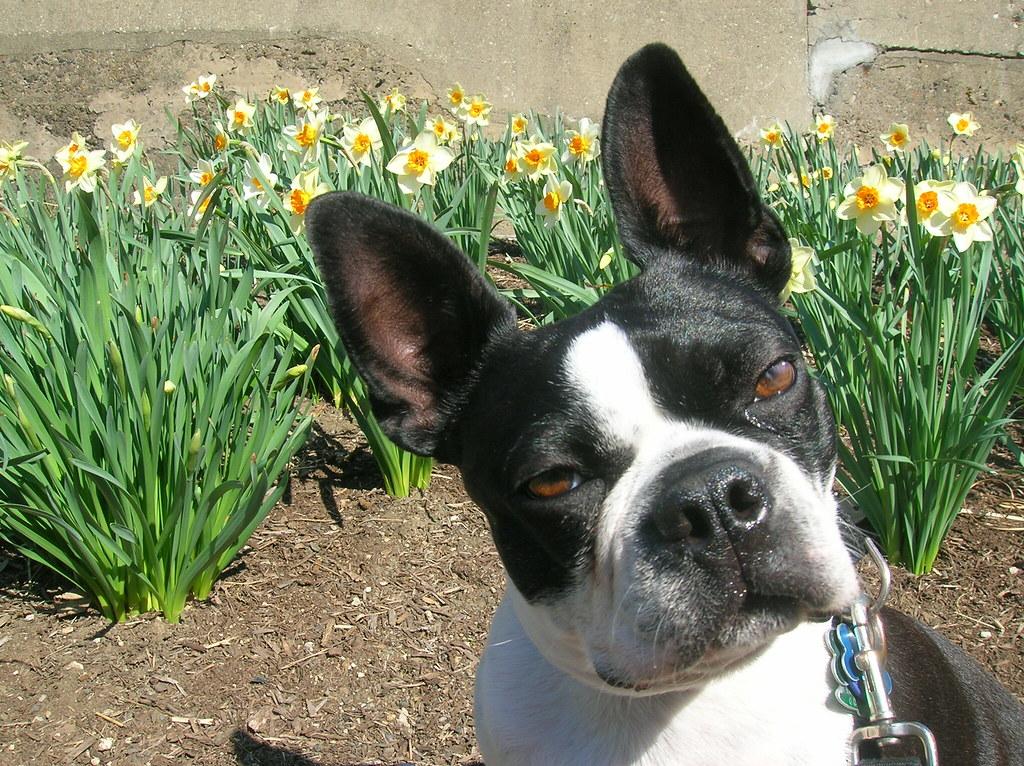 Nero The Boston Terrier