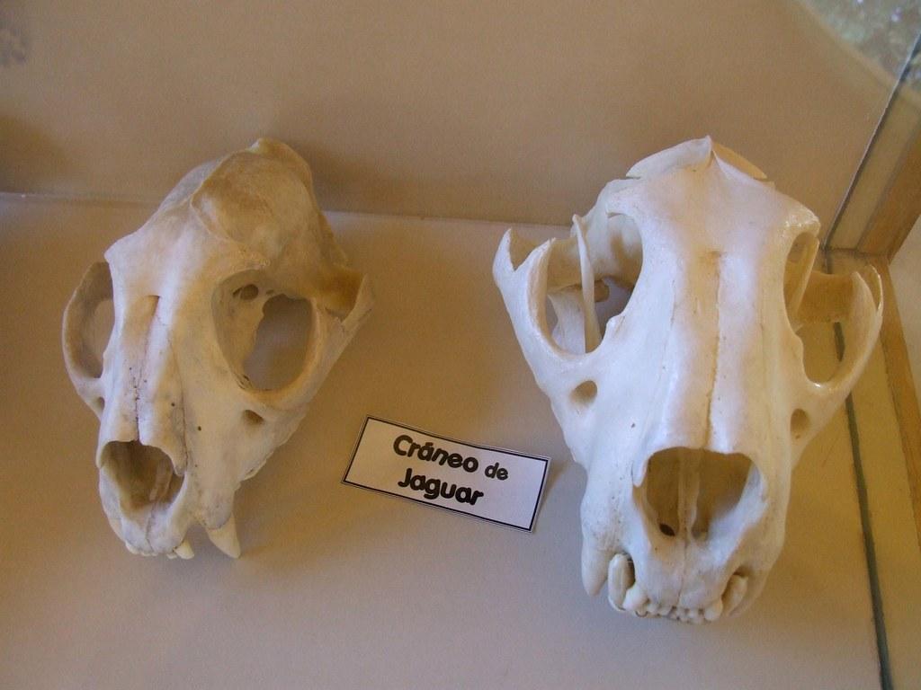 Jaguar Skulls