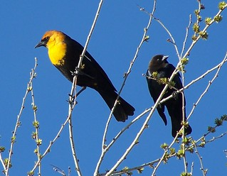 Yellowheaded Blackbirds, Male and Female | by Trpster*