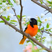 Baltimore Oriole!