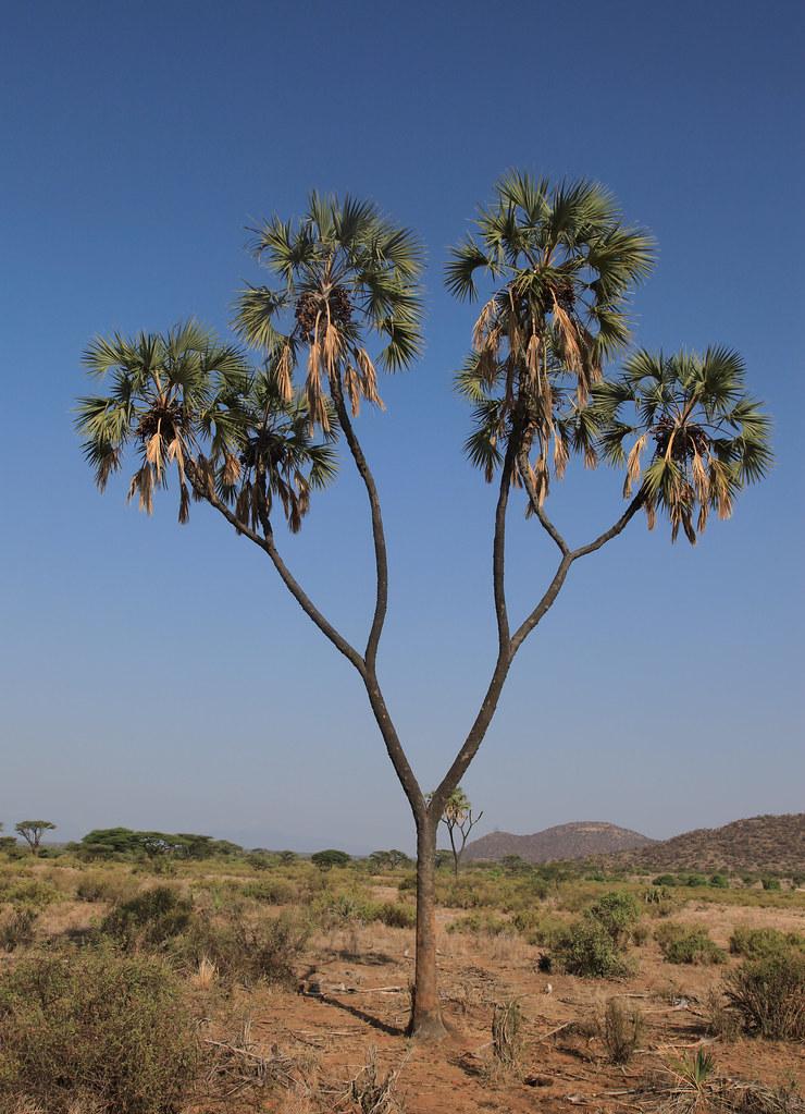 doum palm tree