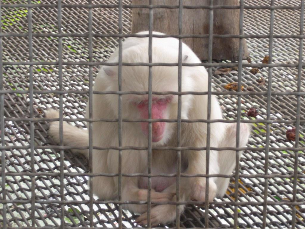 白獼猴。圖片來源:關懷生命協會。