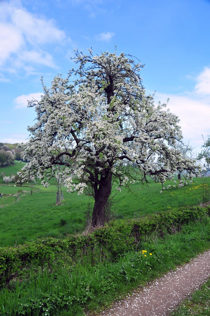 Perenboom in bloei | Blossom tree. | Trampelman | Flickr