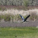 Great blue Heron flying after meal