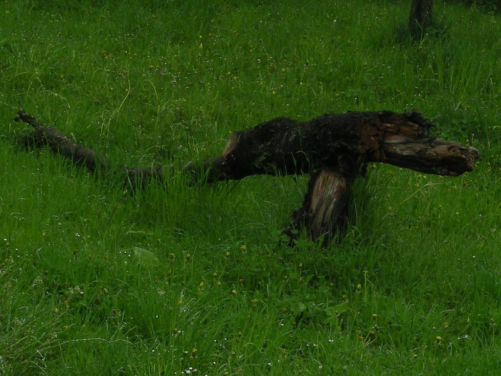 Dacian wolf | Dacian's...