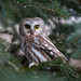 Northern Saw-whet Owl, Monroe Co. NY