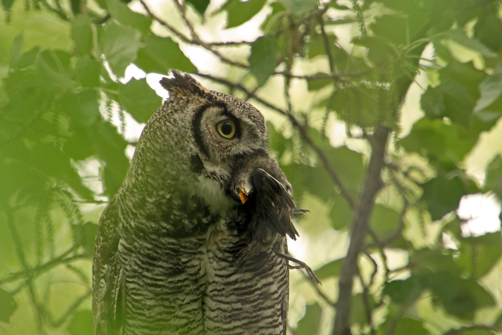 great horned owl eating a bird i was wating about 2 12