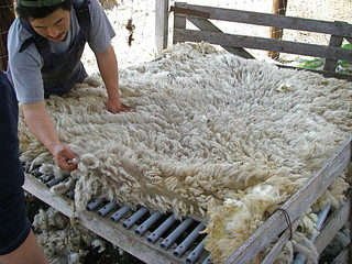 Sheep shearing | by Blue Lotus
