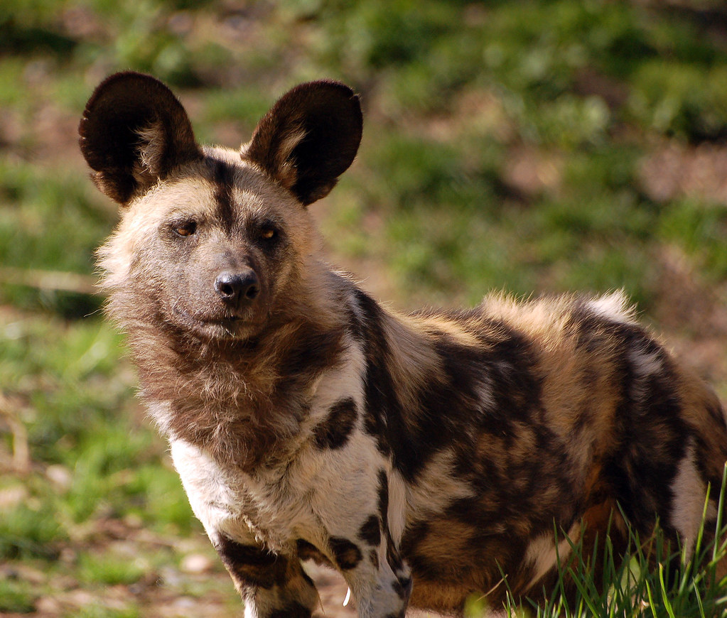 All Wild Dogs From Human Breeding
