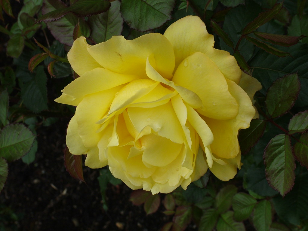 Joy friendship the bright sunny color of yellow roses for What color is the friendship rose