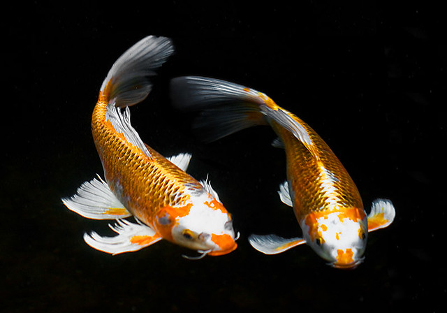 Is Koi Fish Food Poisonous To Dogs