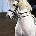 Andalusian stallion Pecos in a Matt McLaughlin clinic