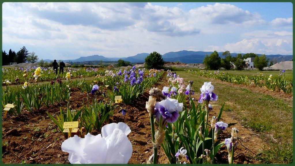Exposition d 39 iris gignac beau temps oblige je passe - Iris ne fleurissent pas ...