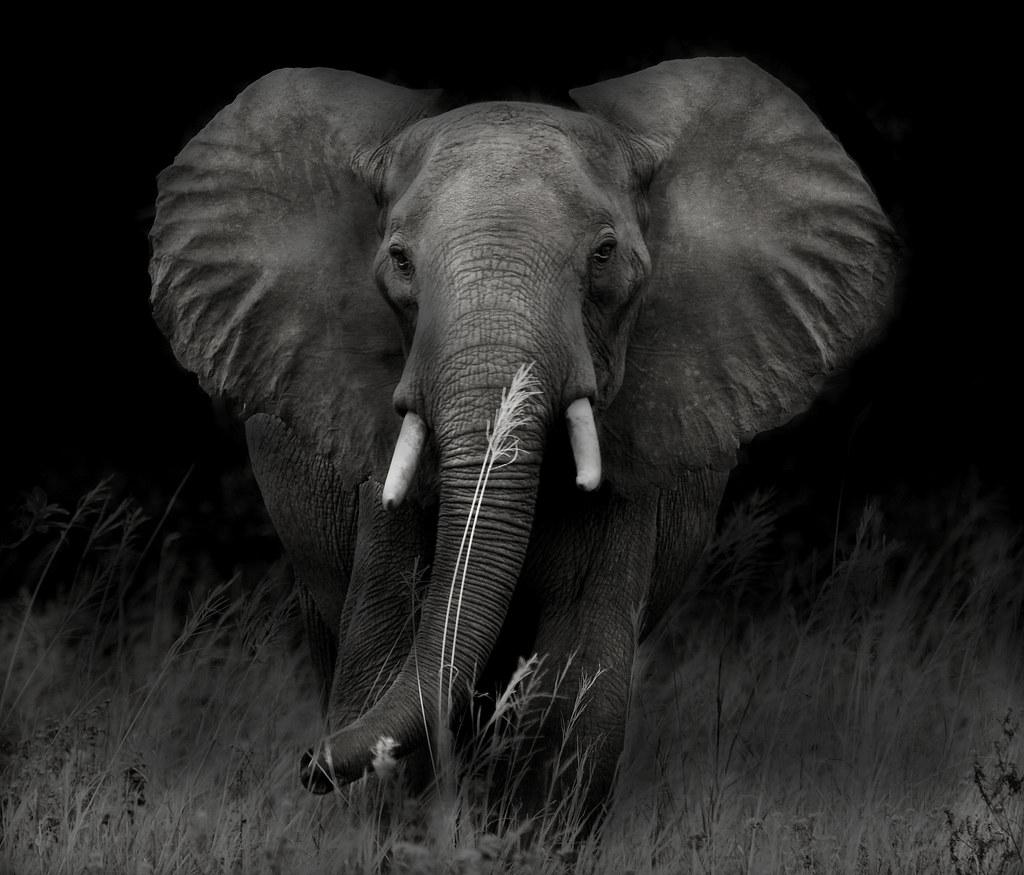 warning an african elephant warning me to back off taken u2026 flickr
