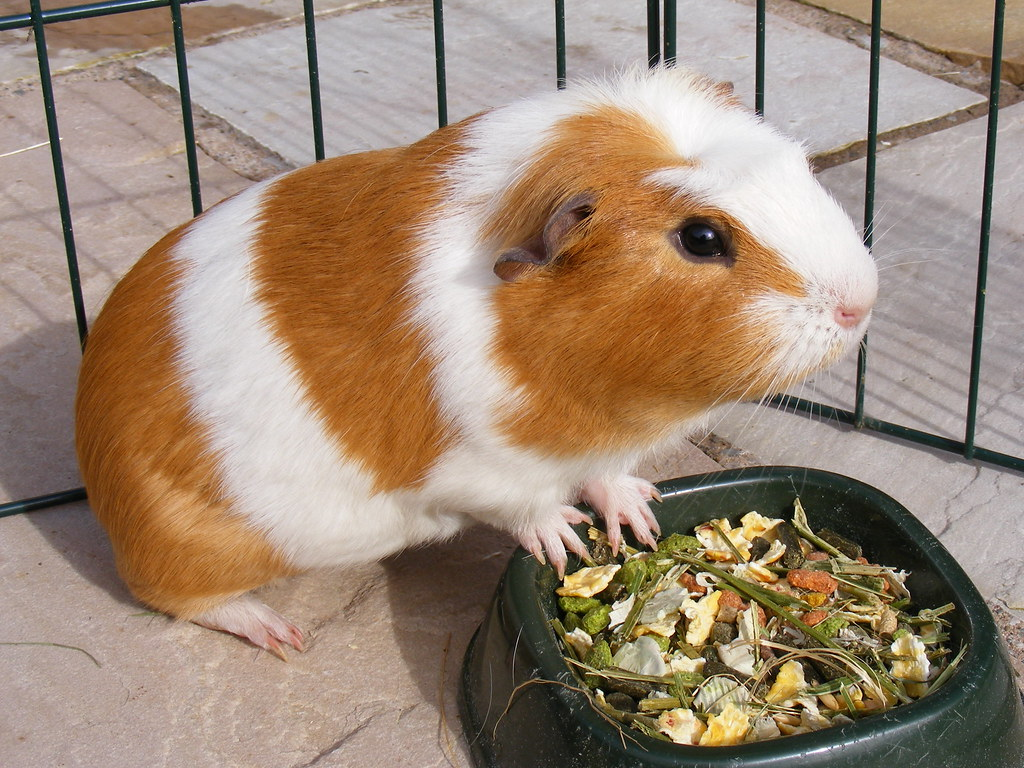 Image result for Cavia porcellus