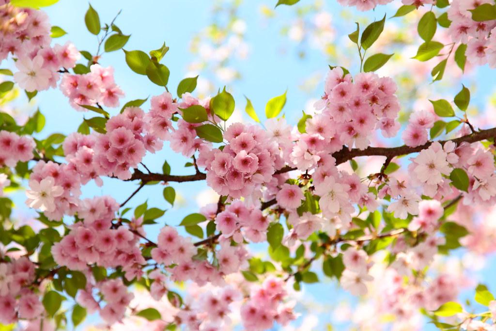 Fr hling kirschbl te im april rosa foto von johann for Bilder fruhling