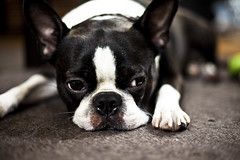 Boston Terrier | by cmckna