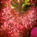 Purple Cactus Flower C