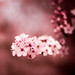 A cherry blossom boa