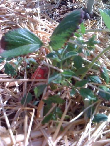 Our First Strawberry of the Season | by Mikey Sklar & Wendy Tremayne