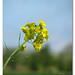 Mustard....Sarsoon Ka Phool