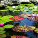 Lily Pond - Meredith Corp Garden