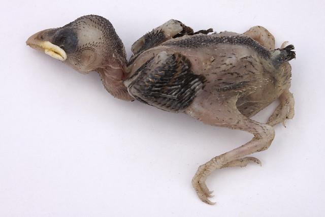Dead Baby Bird 1 | Flickr - Photo Sharing!