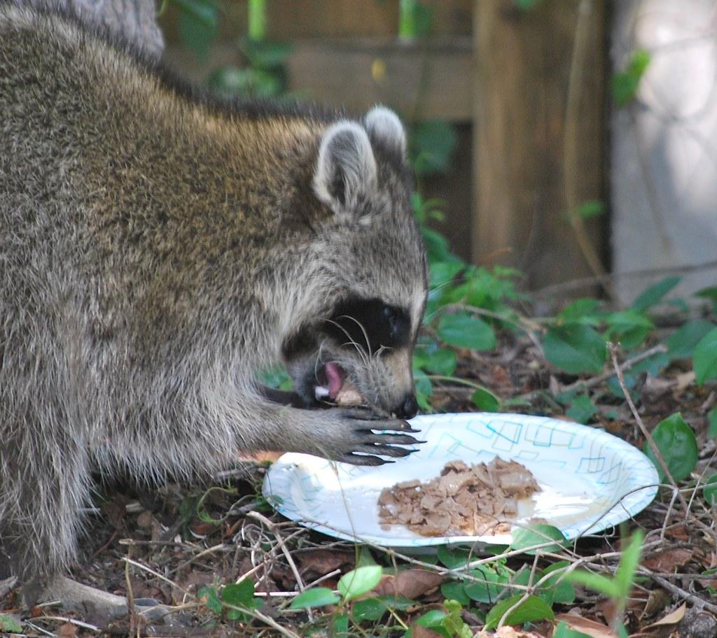 Raccoon Cat Food