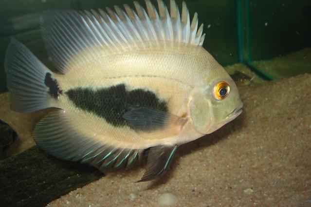 Уару чернопятнистый, трехугольная цихлида (Uaru amphiacanthoides), фото фотография аквариумные рыбки