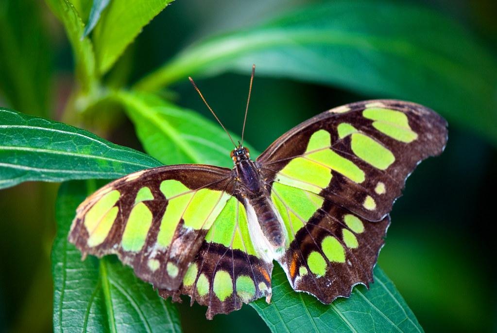 Papillon vert papillon vert en folie du centre jardin for Jardin hamel papillon 2016