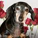 "Hazel, Miss February 2009 ""Rescue Dachshund"""
