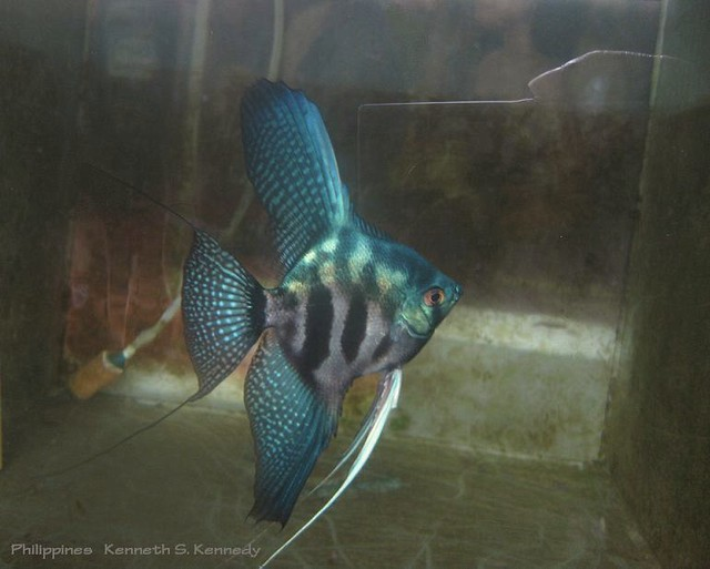 Pinoy Clown Pterophyllum Mood Dependent Color Contrast