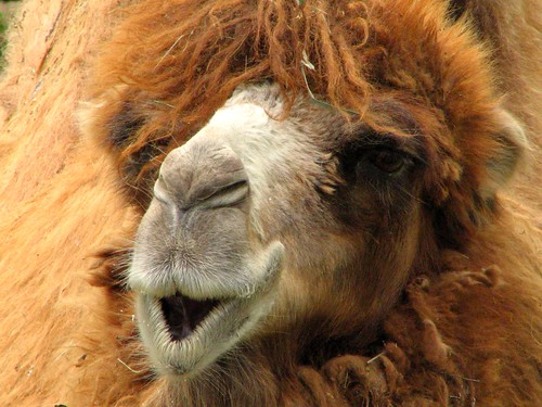 Candid camel. | by G's Man