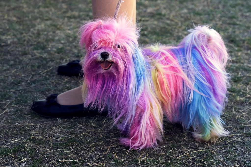The Polychromatic Maltese There Are Over 3 000 Pure Bred