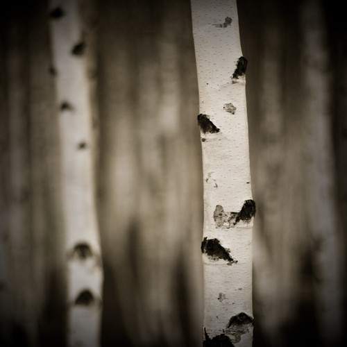 birch trees | by kɐʇɹlow