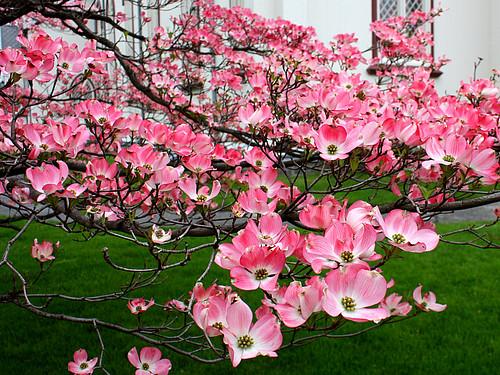 pink flowering dogwood flickr photo sharing. Black Bedroom Furniture Sets. Home Design Ideas