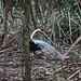 Lyrebird displaying